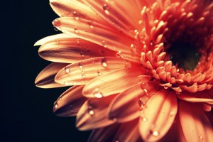 flower-orange-water-droplets-white-Favim.com-274758